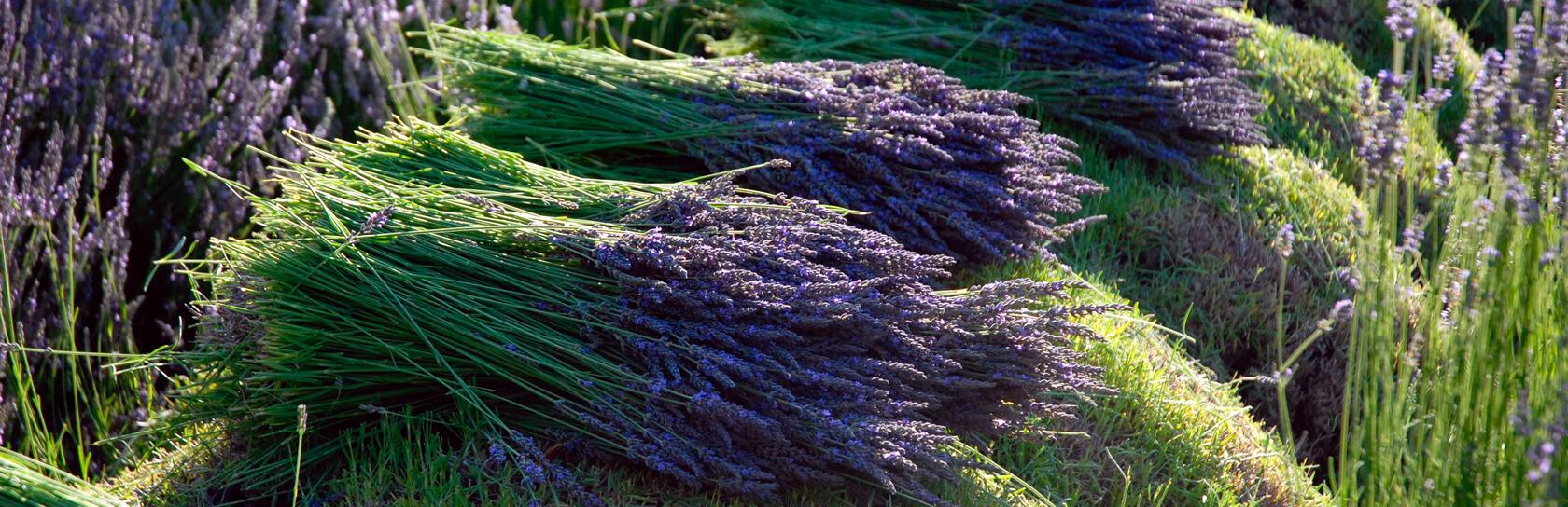 Lavender field image